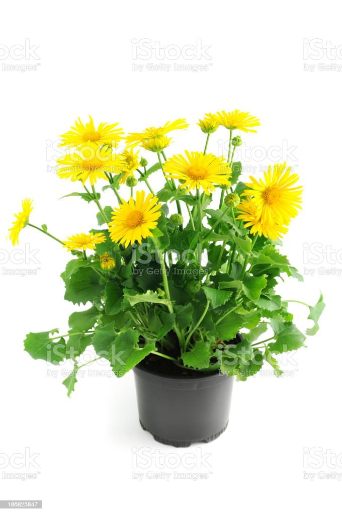 yellow aster daisy Leopard's Bane ( oronicum orientale) flower isolated stock photo