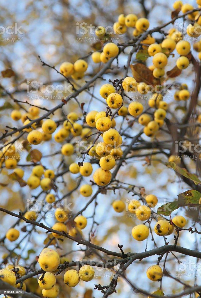 Yellow autumn apples on a naked tree stock photo