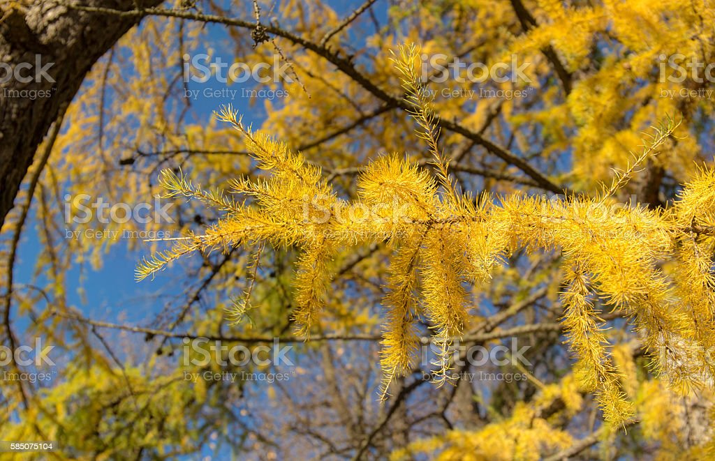 yellow autumn branches stock photo