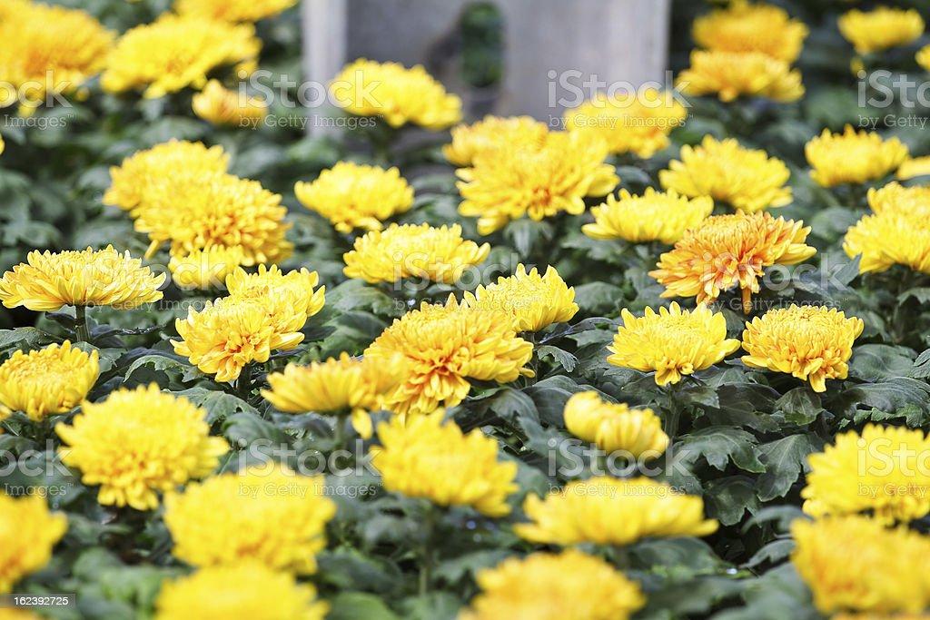 Yellow autumn chrysanthemum royalty-free stock photo