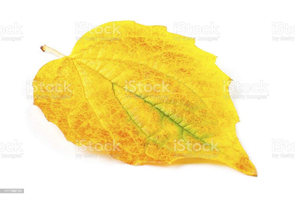 Yellow autumn leaf isolated on white background royalty-free stock photo