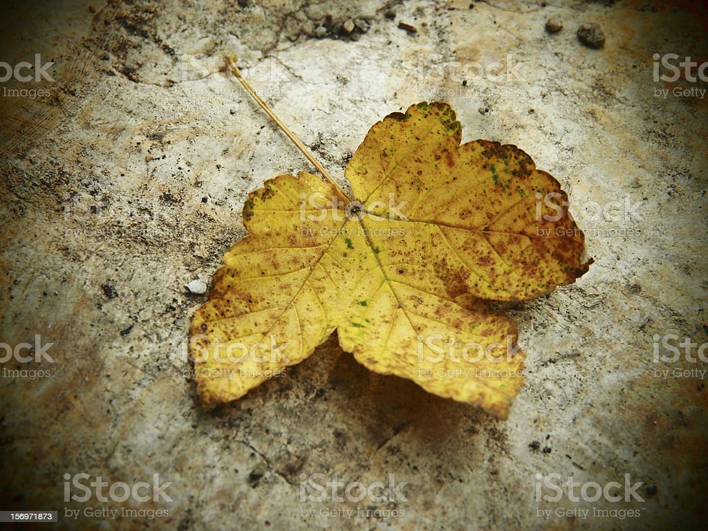 yellow autumn leaf maple, soft and pinhole camera look stock photo