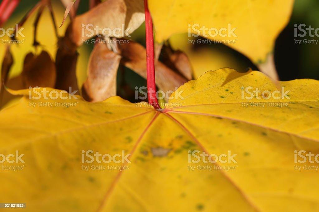 Yellow autumn leaf of sycamore Acer pseudoplatanus stock photo