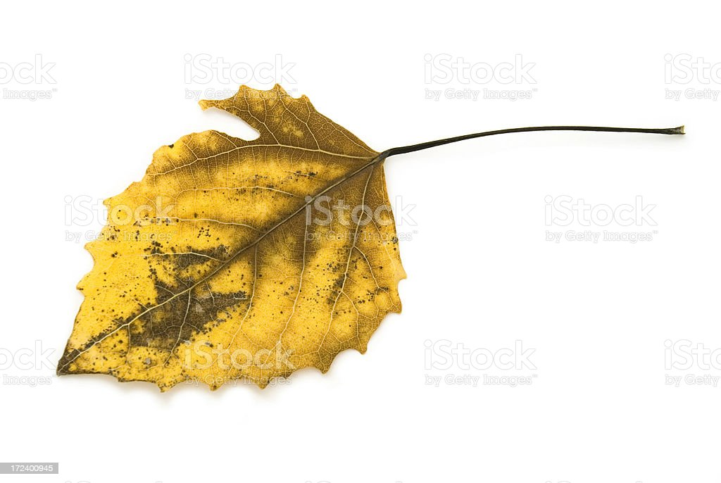 Yellow Autumn Leaf royalty-free stock photo