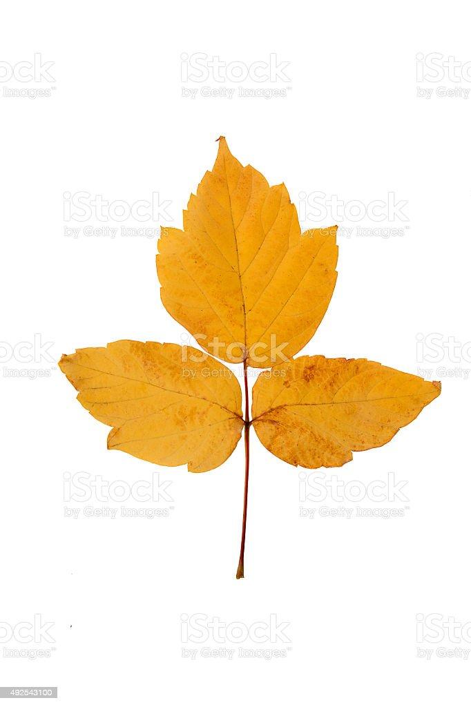 yellow autumn leaf stock photo