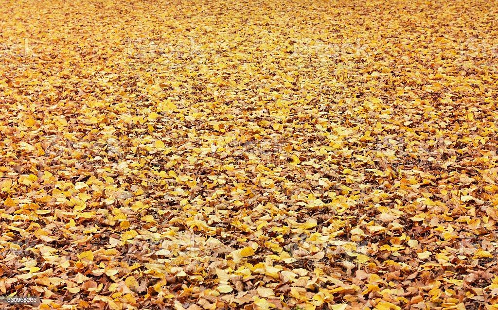 Yellow autumn leaves background stock photo