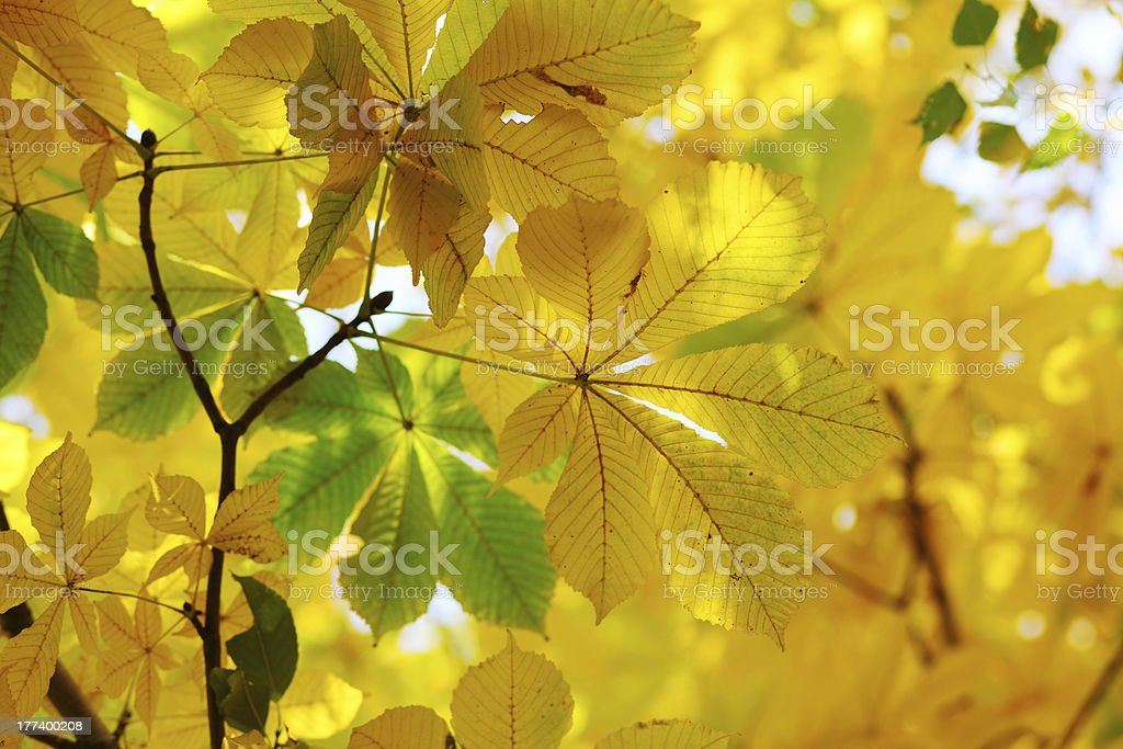 Yellow autumn leaves of chestnut. stock photo