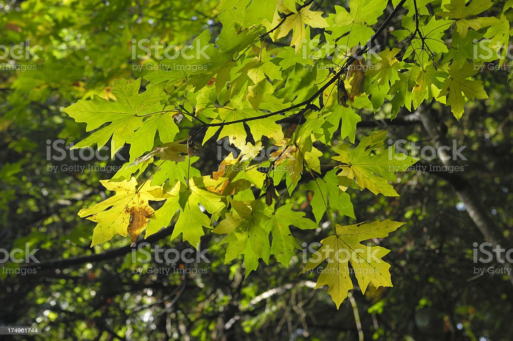 Yellow Autumn Leaves on Branch royalty-free stock photo