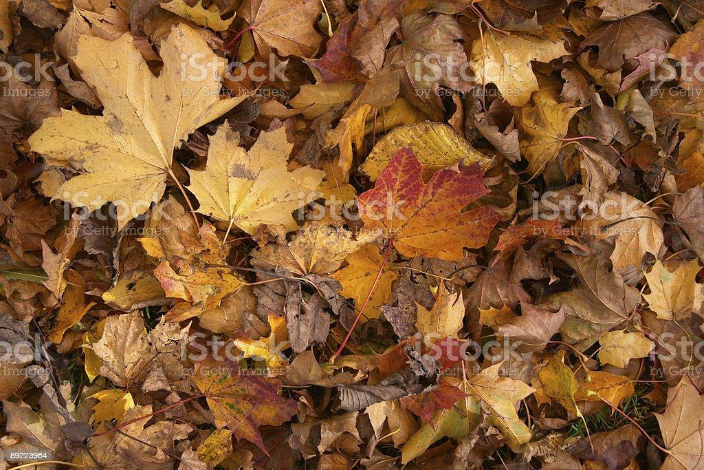 Yellow autumn leaves royalty-free stock photo