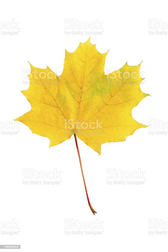yellow autumn maple leaf royalty-free stock photo