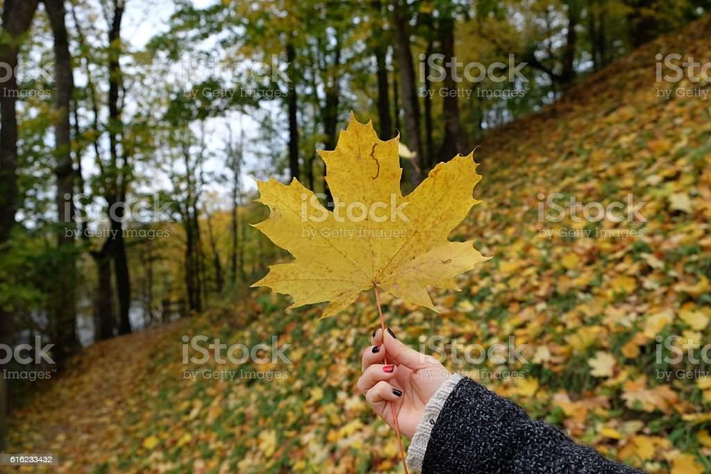 Yellow autumn maple leave. stock photo