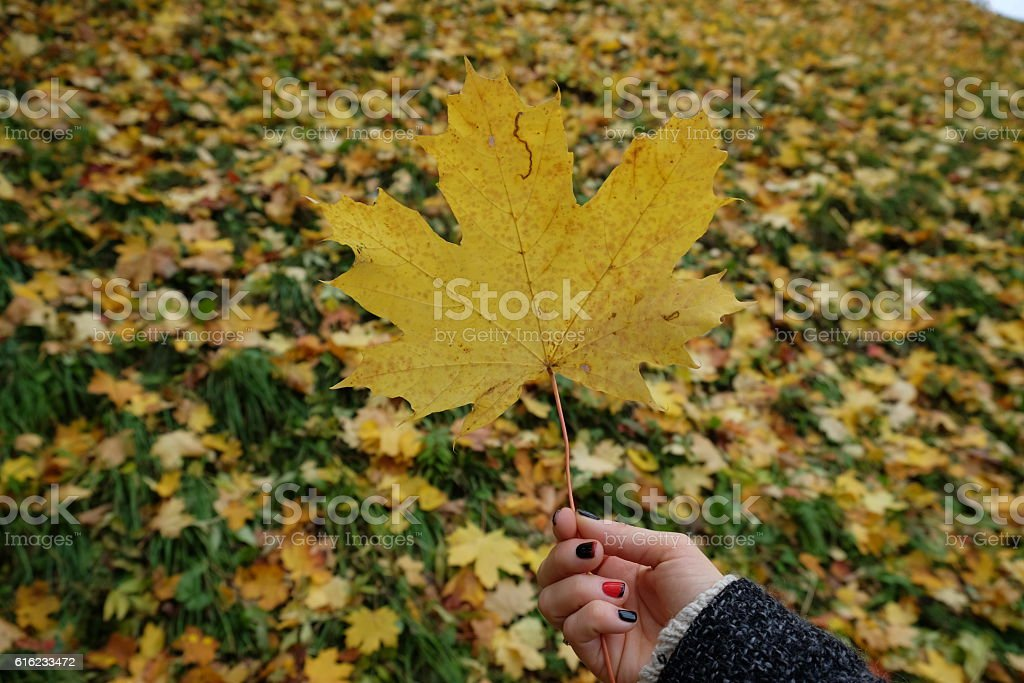 Yellow autumn maple leave. stock photo