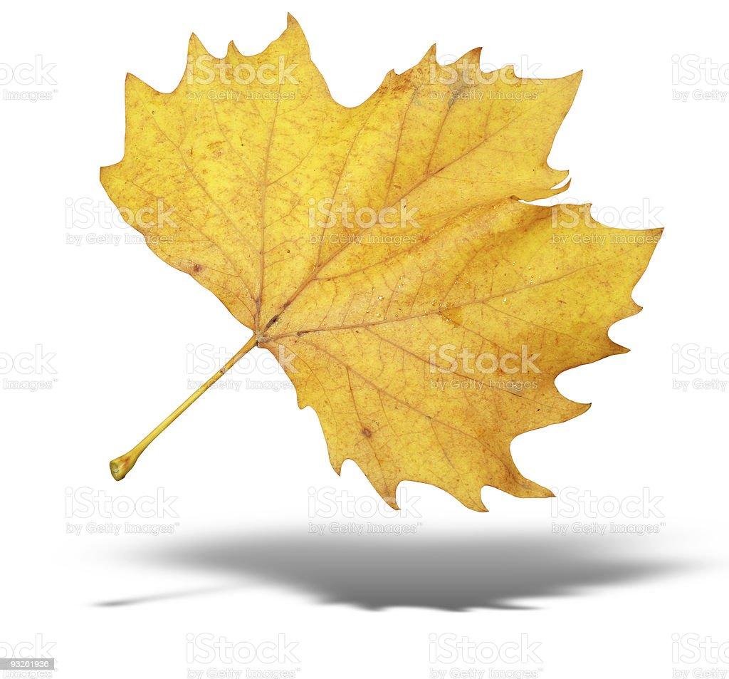 Árvore de outono amarelo deixa com sombra isolado sobre fundo branco foto de stock royalty-free