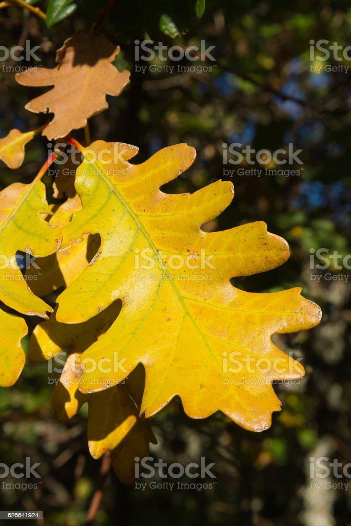 Yellow Autumnal Oak Leaf - Hoja Amarilla Otoñal de Roble stock photo