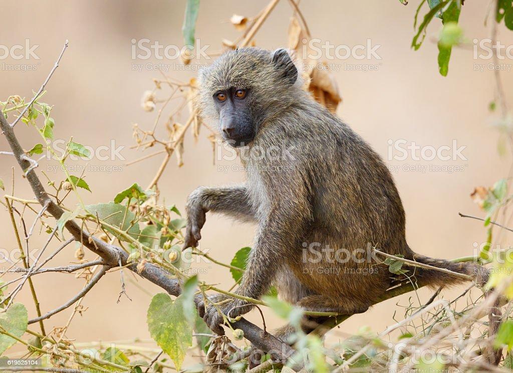 Yellow Baboon Juvenile, Tarangire National Park, Tanzania Africa stock photo