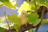 yellow baby chicken in springtime