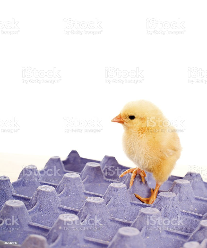 Yellow baby chicken standing on blue egg carton royalty-free stock photo