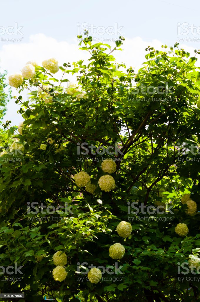 yellow balls of a lilac stock photo
