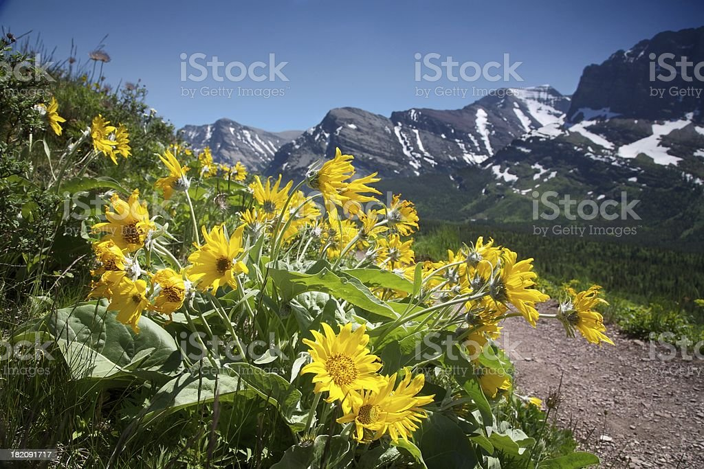 Yellow Balsamroot flowers in Glacier National Park stock photo
