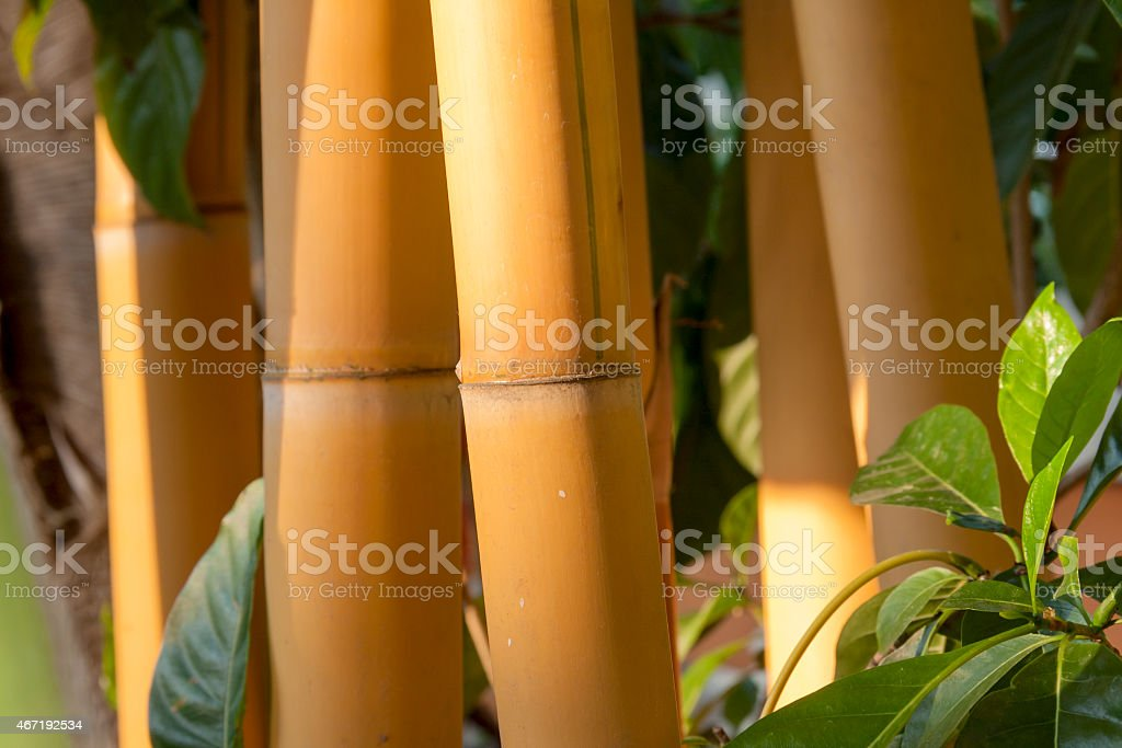 Yellow bamboo forest background royalty-free stock photo