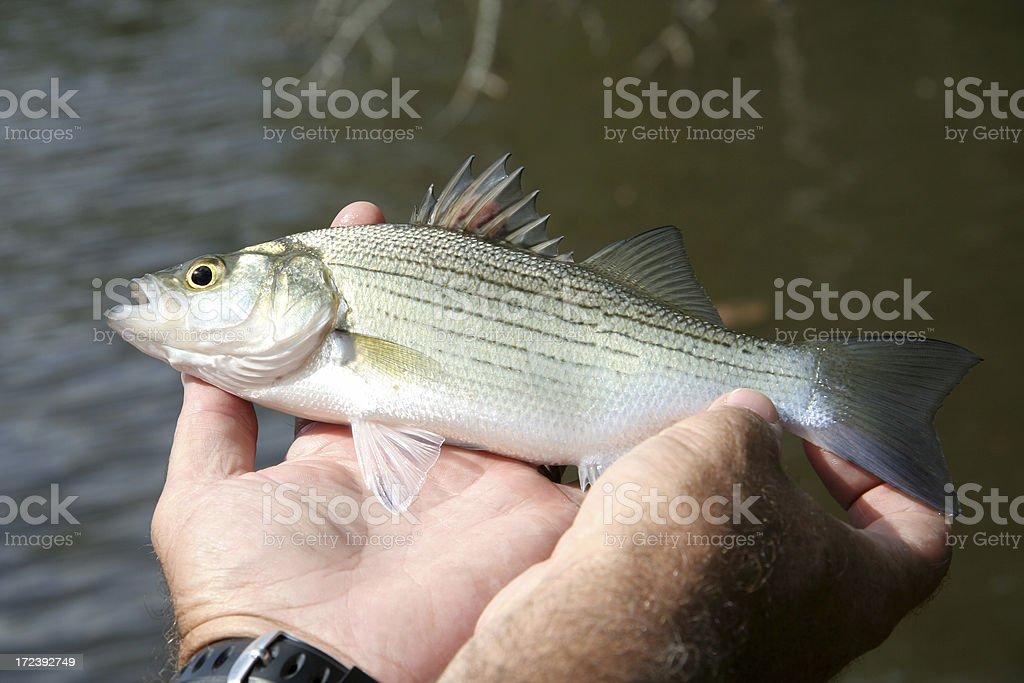 Yellow Bass stock photo