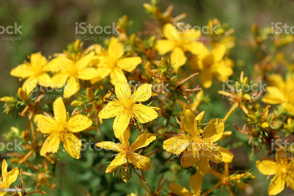 Yellow beautiful flowers of St.-John's wort stock photo