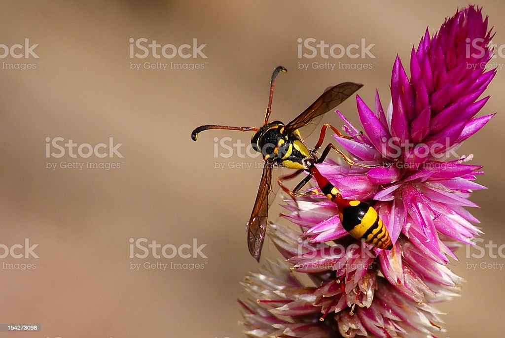 Yellow bee royalty-free stock photo