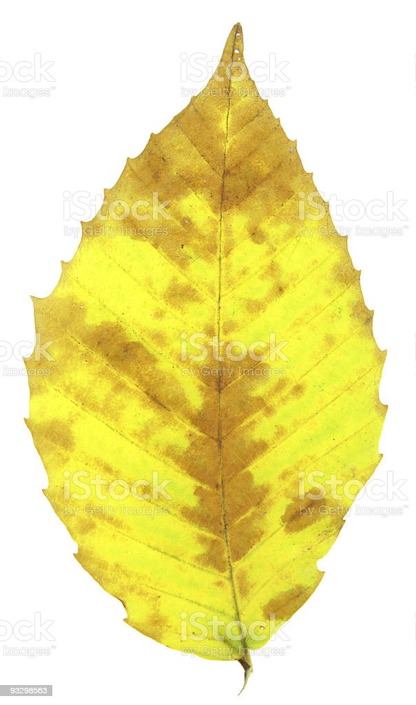 Yellow Beech Leaf royalty-free stock photo