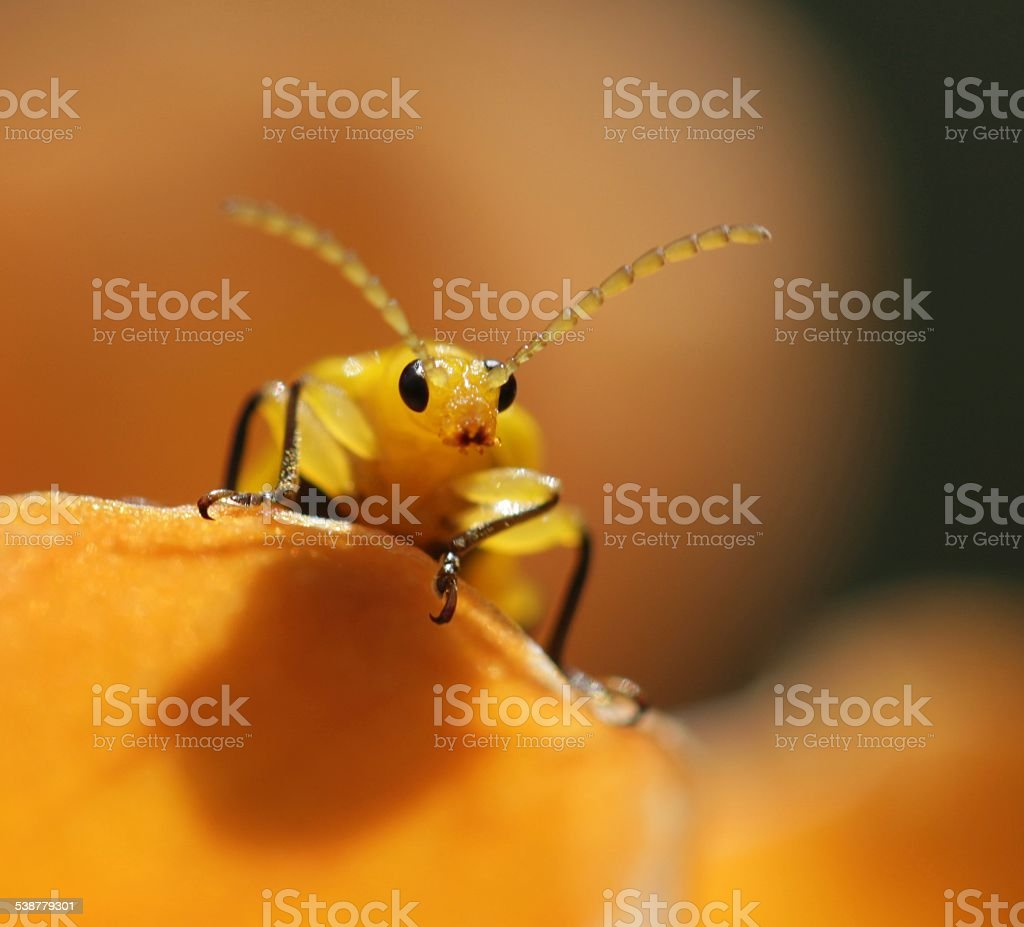 Yellow beetle climbing to the top close up stock photo