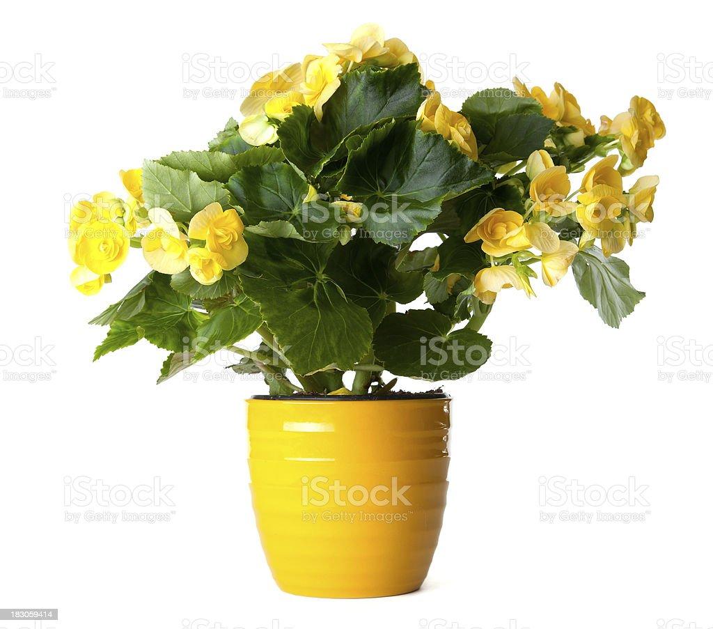 Yellow Begonia royalty-free stock photo