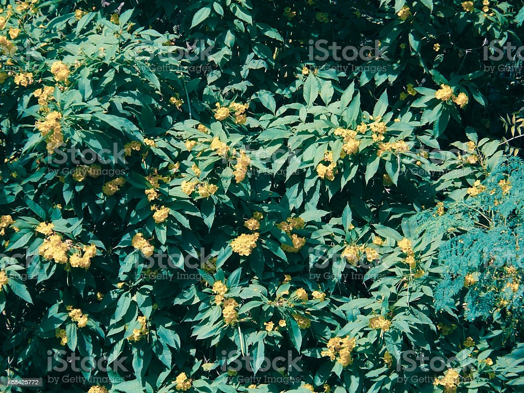 Yellow bells, Yellow trumpet, Yellow-Elder, Tecoma stans stock photo