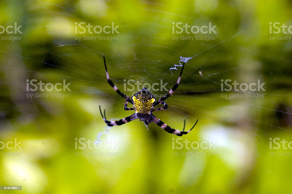Yellow Belly royalty-free stock photo