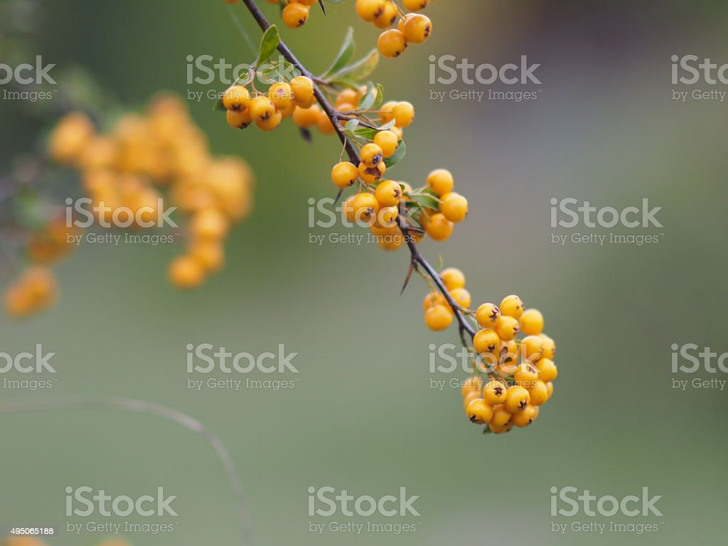 Yellow berries on a branch stock photo