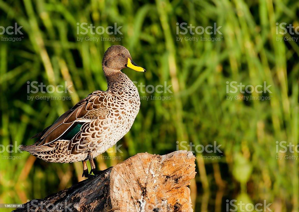 Yellow bill duck stock photo