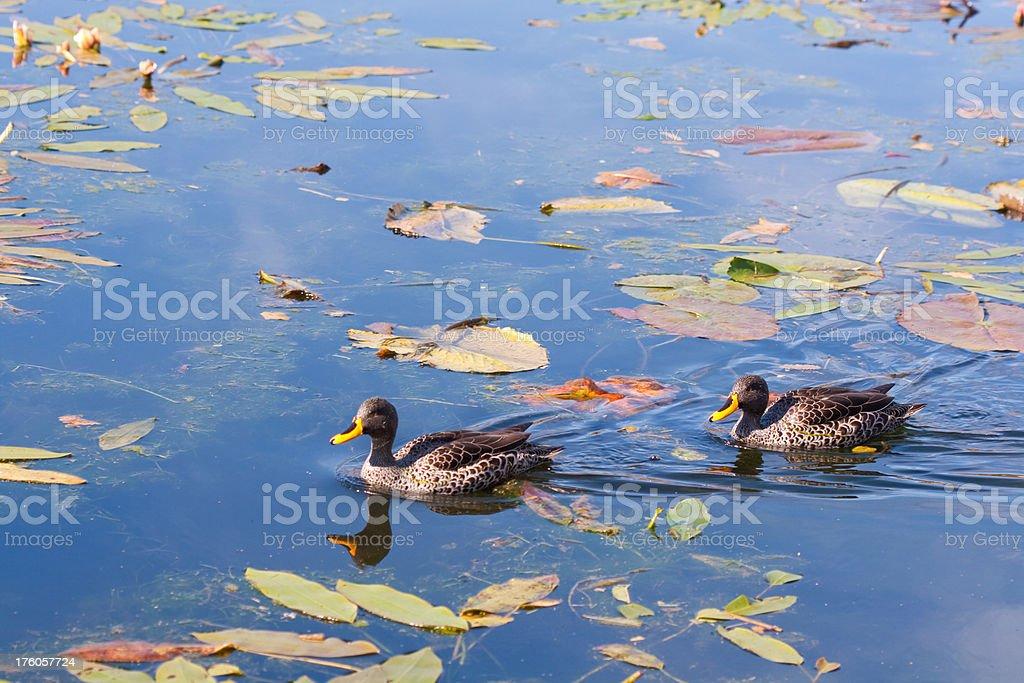 yellow billed duck stock photo