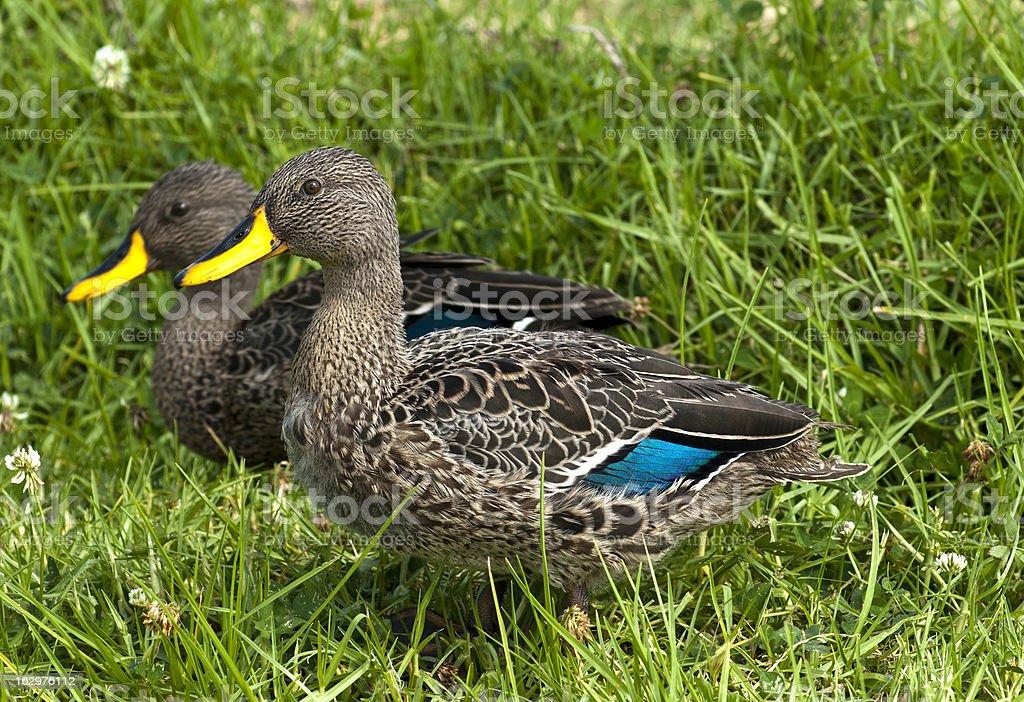 Yellow Billed Ducks stock photo