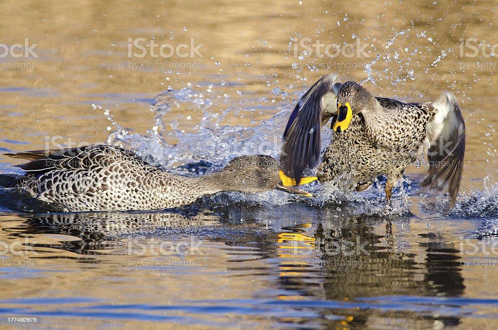 Yellow billed ducks splashing stock photo