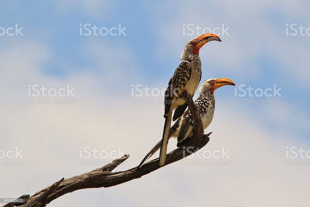 Yellow billed Horn bill - Exotic Birds from Africa stock photo