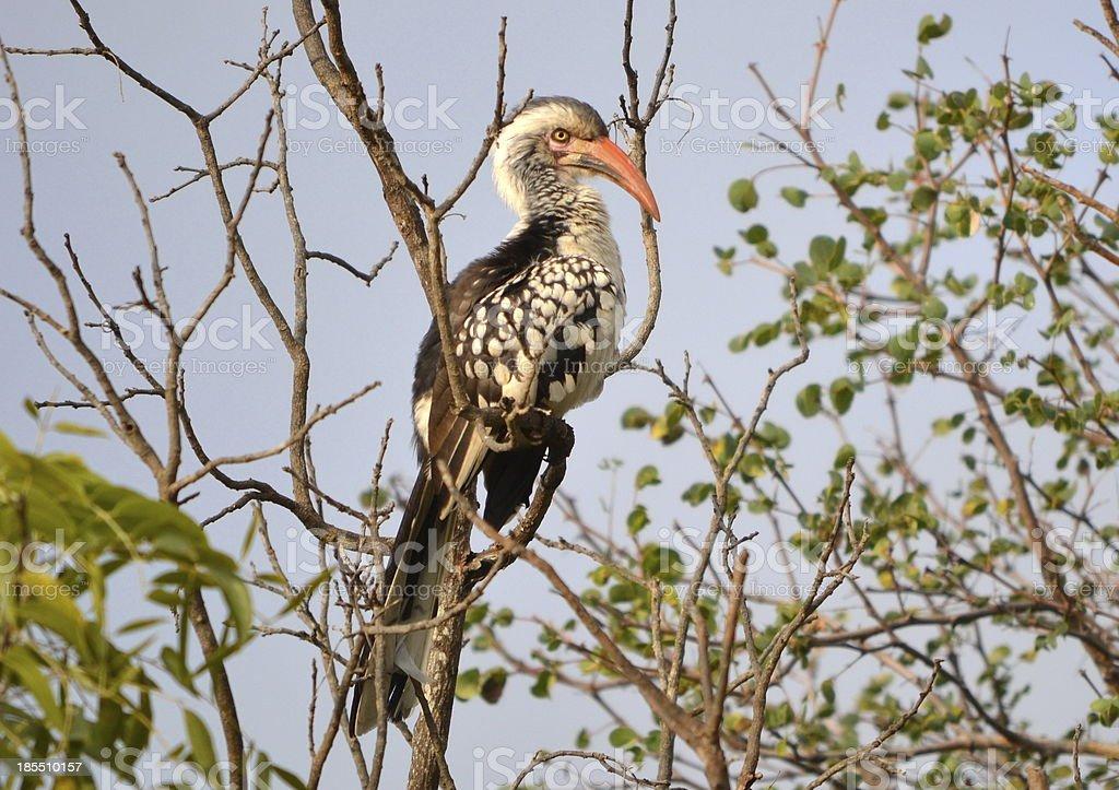 Yellow Billed Hornbill Bird South Africa stock photo
