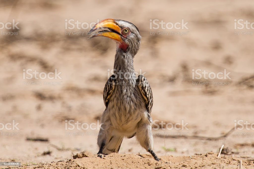 Yellow billed hornbill close digging for insects in dry Kalahari stock photo