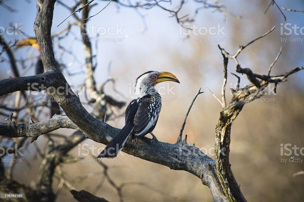 yellow billed hornbill royalty-free stock photo