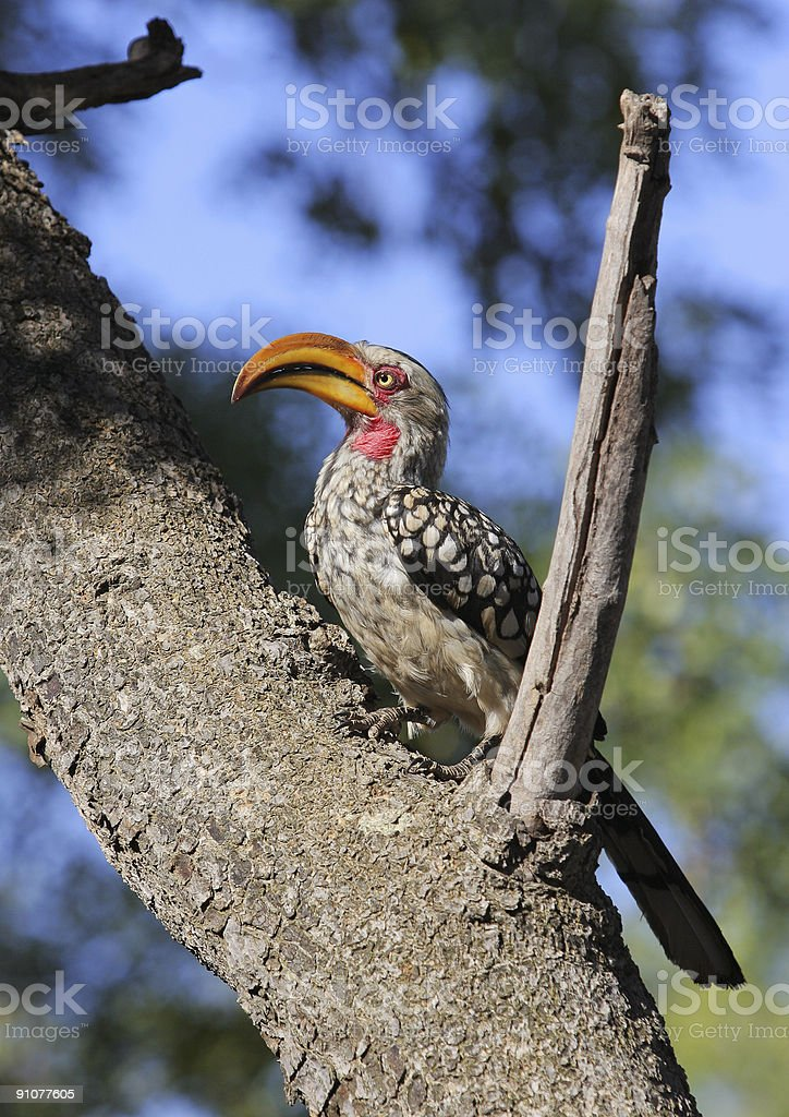 Yellow Billed Hornbill royalty-free stock photo