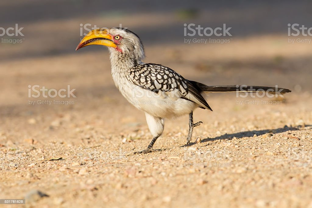 Yellow billed hornbill walking on ground looking and begging for stock photo