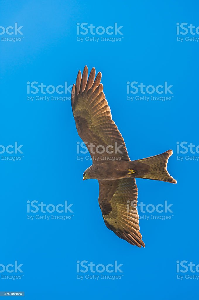 Yellow billed kite hovers in blue sky with wings stretched stock photo