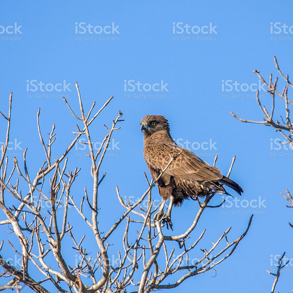 yellow billed kite on a branch in Kruger stock photo