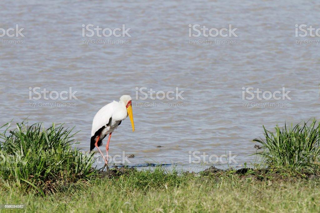 Yellow billed stork near a water hole stock photo