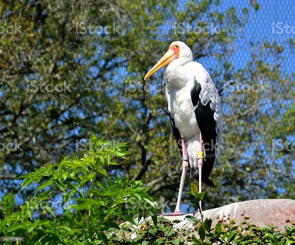 Yellow Billed Stork royalty-free stock photo