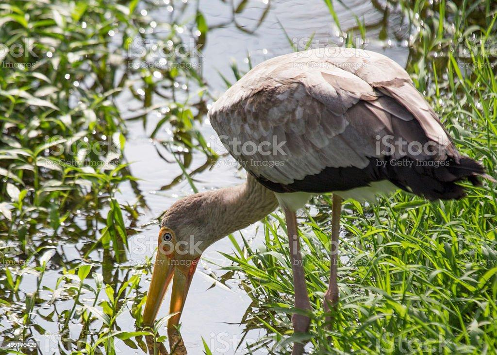 Yellow Billed Stork stock photo