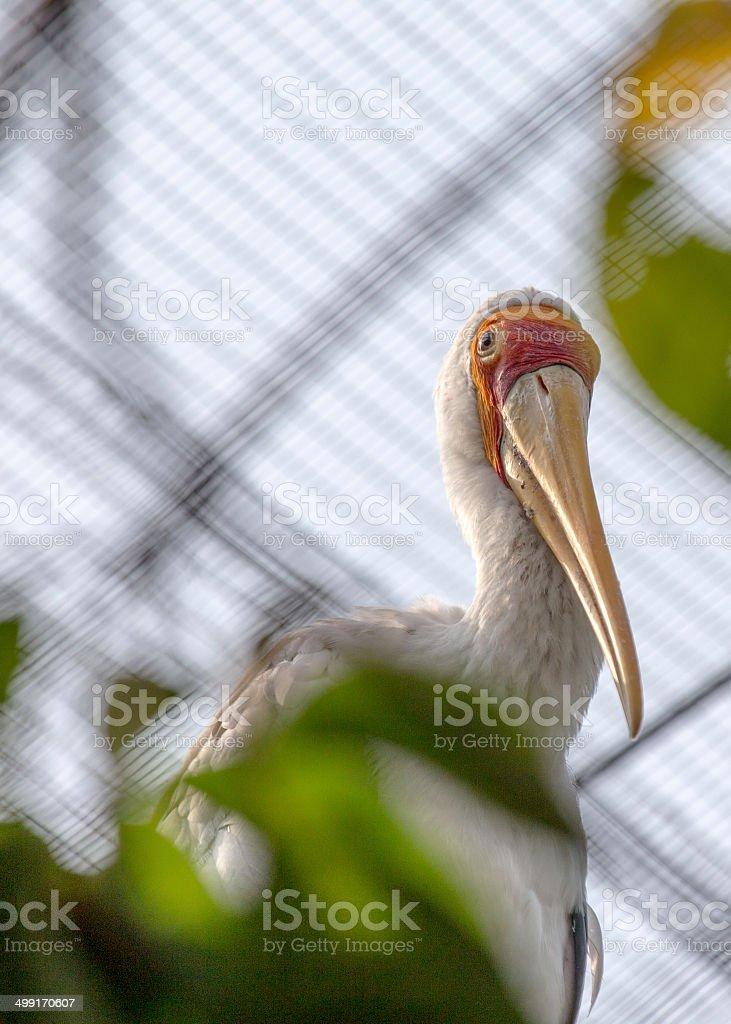 Yellow Billed Stork Portrait stock photo