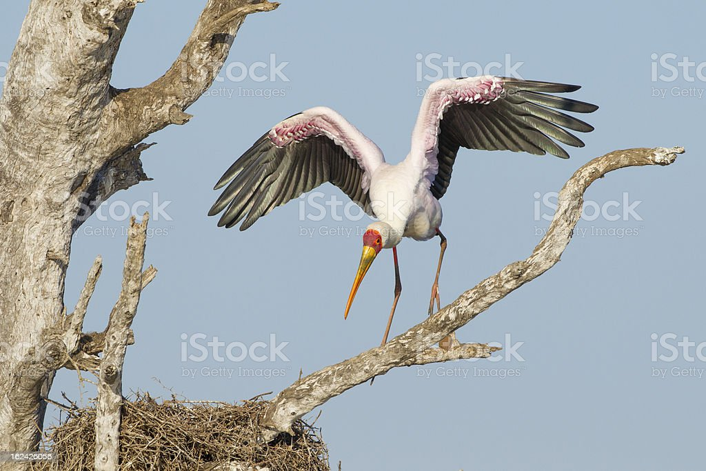 Yellow Billed Stork (Mycteria ibis) South Africa royalty-free stock photo